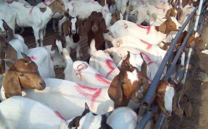 羊养殖.jpg