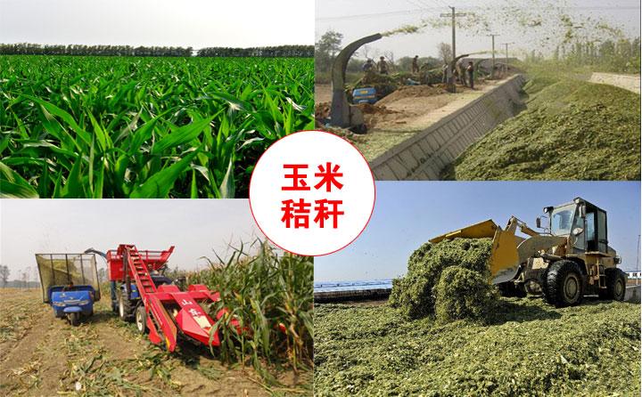 玉米秸秆实拍图